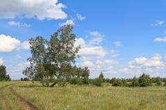 Los abedules que se colocaban en el campo se inclinaron al lado de un viento Imagen de archivo