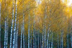 Los abedules ven de debajo hacia arriba, otoño, hojas del amarillo Imagen de archivo libre de regalías