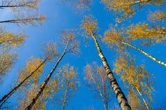 Los abedules ven de debajo hacia arriba, otoño, hojas del amarillo Paisaje Fotografía de archivo libre de regalías