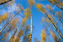 Los abedules ven de debajo hacia arriba, otoño, hojas del amarillo Paisaje Imagen de archivo libre de regalías