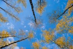 Los abedules ven de debajo hacia arriba, otoño, hojas del amarillo Paisaje Foto de archivo