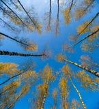 Los abedules ven de debajo hacia arriba, otoño, hojas del amarillo Paisaje Imagen de archivo