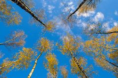 Los abedules ven de debajo hacia arriba, otoño, hojas del amarillo Paisaje Fotografía de archivo