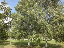 Los abedules verdes en una arboleda/un verano ajardinan con una arboleda del abedul/ Imagen de archivo libre de regalías