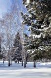 Los abedules y los abetos cubiertos con nieve fresca en la ciudad parquean por la mañana escarchada del invierno Fotografía de archivo