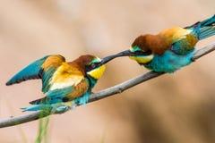los Abeja-comedores, apiaster del Merops, se sientan en una rama Imagenes de archivo