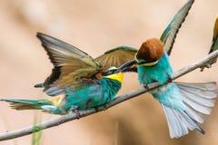 los Abeja-comedores, apiaster del Merops, se sientan en una rama Fotos de archivo libres de regalías