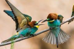 los Abeja-comedores, apiaster del Merops, se sientan en una rama Fotografía de archivo libre de regalías