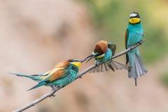 los Abeja-comedores, apiaster del Merops, se sientan en una rama Foto de archivo libre de regalías