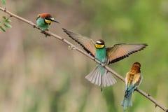 los Abeja-comedores, apiaster del Merops, se sientan en una rama Fotografía de archivo