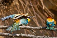Los Abeja-comedores europeos, apiaster del Merops son que se sientan y que muestran apagado en una rama agradable, durante la est Fotografía de archivo libre de regalías