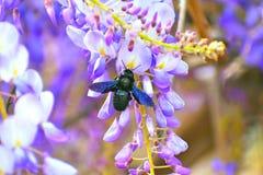 Los abejorros de los insectos recogen el néctar de las flores fotografía de archivo