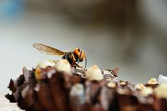 Los abejorros primero separaron sus alas Imagen de archivo