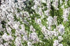 Los abejorros que recogen el polen de la lavanda blanca florecen en fondo del paisaje de la naturaleza del jardín Imágenes de archivo libres de regalías