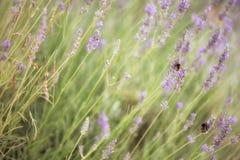 Los abejorros que recogen el polen de la lavanda florecen en el jardín Foto de archivo libre de regalías
