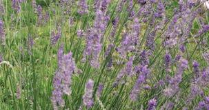 "Los abejorros que recogen el polen de la lavanda florecen en fondo del vídeo del paisaje 4k de la naturaleza del †del jardín "" almacen de video"