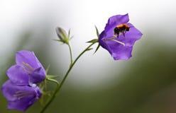 Los abejorros sacan de la flor de papel Foto de archivo