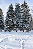 Los abetos cubiertos con nieve fresca en la ciudad parquean, con los rastros de nieve en el primero plano, por la mañana escarcha Fotografía de archivo