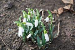 Los abetos florecen en la estación de primavera que es snowdrop foto de archivo