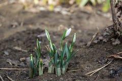 Los abetos florecen en la estación de primavera que es snowdrop fotos de archivo