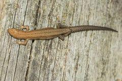Los agilis del Lacerta del lagarto mienten en un tocón de madera agrietado Fotografía de archivo libre de regalías