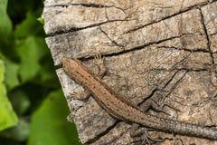 Los agilis del Lacerta del lagarto mienten en un tocón de madera agrietado Imagen de archivo