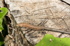 Los agilis del Lacerta del lagarto mienten en un tocón de madera agrietado Fotos de archivo
