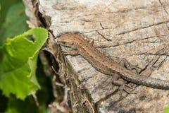 Los agilis del Lacerta del lagarto mienten en un tocón de madera agrietado Imagenes de archivo