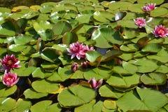 Los agua-lirios rosados florecientes (Nymphaea L ), fondo fotos de archivo