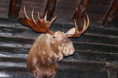 Los alces dirigen con las astas que cuelgan en la pared áspera de la cabaña de madera con los vigas rustric Foto de archivo