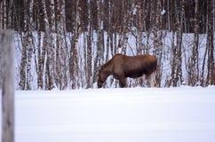 Los alces miman a alimentación desde árboles de abedul en naturaleza del invierno Imágenes de archivo libres de regalías