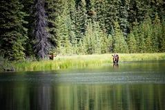 Los alces se acobardan y becerro que alimenta en el lago Foto de archivo libre de regalías