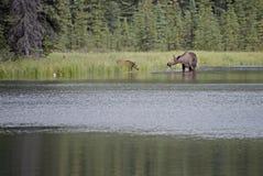 Los alces se acobardan y becerro que alimenta en el lago Imagen de archivo libre de regalías