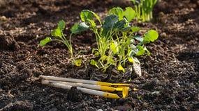 Los almácigos de la col con las raíces y las herramientas visibles - palas y rastrillos, preparados para plantar el marco horizon Fotos de archivo libres de regalías