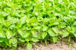 Los almácigos de la pimienta verde en el invernadero, alistan para el trasplante en el campo, cultivando, agricultura, verduras,  fotografía de archivo libre de regalías