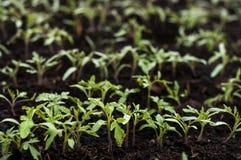 Los almácigos del tomate crecen en el invernadero imagenes de archivo