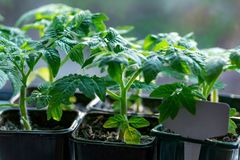 Los almácigos del tomate crecen en travesaño de la ventana fotos de archivo libres de regalías
