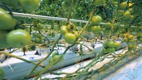 Los almácigos del tomate del invernadero en cajas con el sistema de la fertilización conectaron con ellas almacen de metraje de vídeo