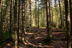 Los altos árboles viejos crecen en las cuestas de las montañas La conquista de picos fotografía de archivo