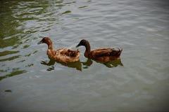 Los amantes del pato están hablando fotografía de archivo