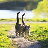 Los amantes juntan el paseo de gatos rayado juntos en prado verde en Sunn fotografía de archivo libre de regalías