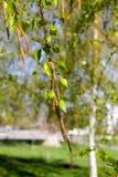 Los amentos del abedul con verde se van en las ramas de árbol Imagen de archivo