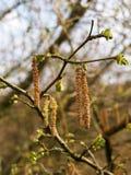 Los amentos o las flores masculinas de un abedul de plata en abril en arbolado de la primavera con el florecimiento se van Foto de archivo libre de regalías