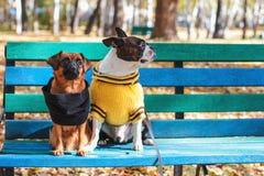 Los amigos del perro se sientan en un banco en parque del otoño, Boston Terrier y pequeño brabanson imagenes de archivo