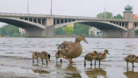 Los anadones divertidos y el pato adulto están caminando en el terraplén de piedra en ciudad en día de verano almacen de video
