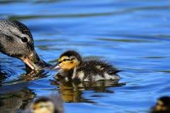 Los anadones están siguiendo su pato de la madre alrededor todo el tiempo imágenes de archivo libres de regalías
