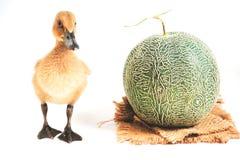 Los anadones marrones lindos se colocan así como resultados del cantalupo fotografía de archivo libre de regalías