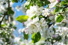 Abundant flowering Apple trees. Gentle spring postcard Royalty Free Stock Photos