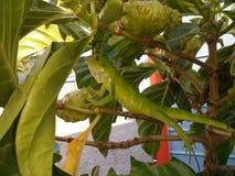 Los Angeles iguana Obraz Stock