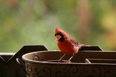 Los Angeles natury en automne au québec: Tata kardynał fotografia stock